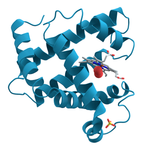 myoglobin showing turquoise α-helices.