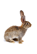 clia-kits-brown-rabbit-clia-kit